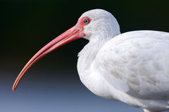 White Ibis close up Royalty Free Stock Photos