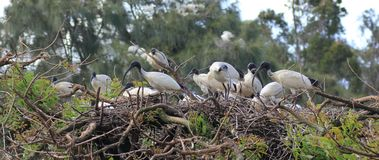White Ibis colony nesting Royalty Free Stock Images