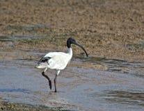 White Ibis crosses a pool. An Australian white ibis stalks across the tidal shallows Stock Photo