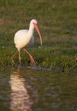 White Ibis, Eudocimus albus Stock Images