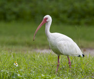 White Ibis, Eudocimus albus Royalty Free Stock Images