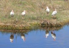 White Ibis (Eudocimus albus). Meeting at the shore of a salt marsh Royalty Free Stock Photos