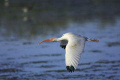 White Ibis (Eudocimus albus). Flying Royalty Free Stock Photo