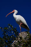 White Ibis (Eudocimus albus). White Ibis gather in a storm damaged tree on the Babcock Webb Wildlife Management Area in Punta Gorda Florida. Birds of a feater stock image