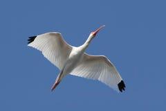 White Ibis (Eudocimus albus) Stock Photography
