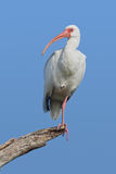 White Ibis (Eudocimus albus) Stock Image