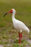 White Ibis (Eudocimus albus) Royalty Free Stock Images