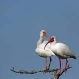 White Ibis, Eudocimus albus Royalty Free Stock Photos