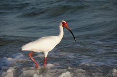 White Ibis Eudocimus albus walking in shallow surf on the Gulf of Mexico. Royalty Free Stock Photography