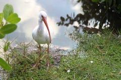 White Ibis (Eudocimus Albus) Royalty Free Stock Photography