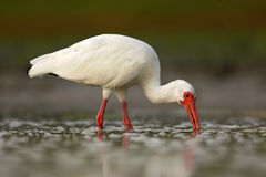 White Ibis, Eudocimus albus, white bird with red bill in the water, feeding food in the lake, Florida, USA. White Ibis, Eudocimus albus, white bird Stock Photography