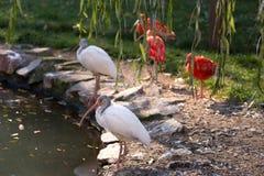 White ibis (Eudomiscus albus) Stock Photo