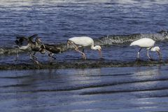 White Ibis family eating together royalty free stock images