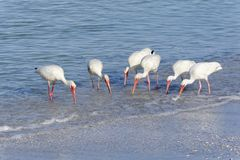 White Ibis Feeding Stock Image