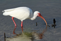 White Ibis Feeding at the Edge of a Pond Stock Images