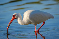 White Ibis feeding Stock Images
