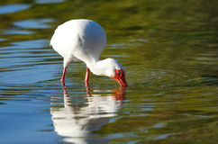 White Ibis feeding Stock Photo