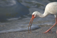 White Ibis feeding Royalty Free Stock Photography