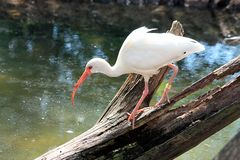 White Ibis Fishing. A white ibis bird walks across a dead tree that has fallen over the water of a pond, as he is looking for his next meal of fish or frogs royalty free stock photos