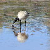 White ibis fishing. A white ibis catches a crab Royalty Free Stock Photography