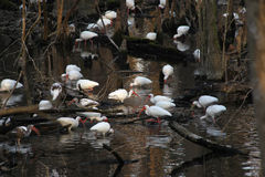 White Ibis Flock Feeding. A flock of wild White Ibiss and juveniles on the ground feeding in the swamp waters and forest right at the entrance to Wakulla Springs Royalty Free Stock Image