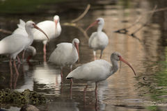 White ibis flock resting on one leg in a tranquil pond. White ibis Eudocimus albus is a white wading bird with red curved bill that lives and feeds in wetlands Royalty Free Stock Photo