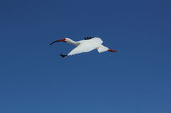 White ibis flying in a clear, blue sky. Royalty Free Stock Images
