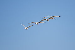 White Ibis Flying Formation Stock Images