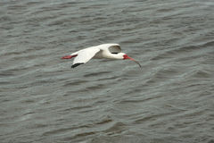 White ibis flying low over shallow water in Florida. stock photo