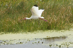 White ibis flying low over a swamp in Christmas, Florida. Royalty Free Stock Images