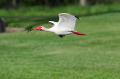 White Ibis Flying Royalty Free Stock Photo
