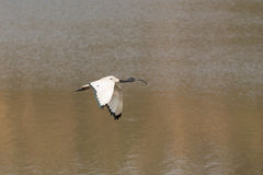 White Ibis in flight Royalty Free Stock Images