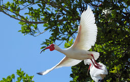 White ibis flying with trees in the background. Stock Photography