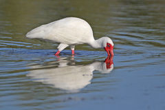 White Ibis Foraging in a Shallow Pond Royalty Free Stock Image