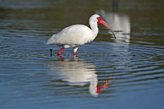 White Ibis Foraging in a Shallow Pond Royalty Free Stock Photo
