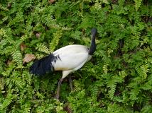 White Ibis between green ferns Royalty Free Stock Photo
