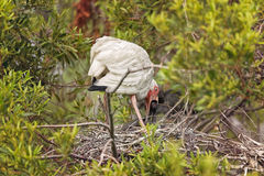 White Ibis in Hilton Head Island. White Ibis taking care of chicks in the nest in Hilton Head Island, South Carolina Stock Photo