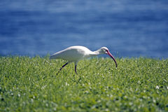 White Ibis hunting in the grass Royalty Free Stock Photos
