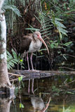 White Ibis, Juvenile, Reflecting in a Pond, Big Cypress National Stock Image