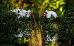 White Ibis 2 Stock Photo