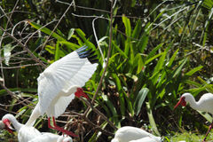 White ibis landing in a cloak of wings. Stock Photo