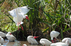 White ibis landing in a pool in Florida. Royalty Free Stock Photography