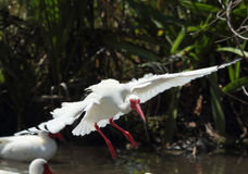 White ibis landing in a pool in Florida. Stock Image