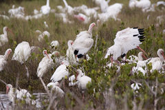 White ibis. Large flock, Merritt Island, Florida, FL, Merritt Island National Wildlife Refuge, MINWR Royalty Free Stock Photography