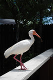 White Ibis. Latin name Eudocimus albus perched on a fence Royalty Free Stock Images