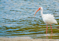White Ibis at the Lemon Bay Aquatic Reserve in Cedar Point Environmental Park, Sarasota County Florida. A White Ibis in tide pools at the Lemon Bay Aquatic royalty free stock photo