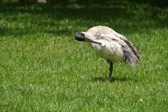 The White ibis is native to australia Stock Photography