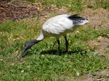 White Ibis in a park in Sudney Royalty Free Stock Image