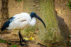 White ibis in the park, Threskiornis royalty free stock image