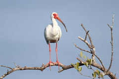 White Ibis Perched in a Tree Stock Photography